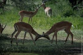 impala (18 of 18)