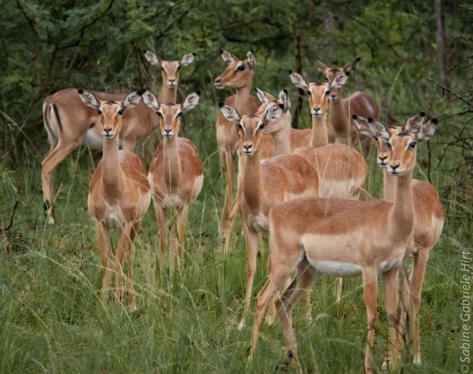 impala (2 of 18)