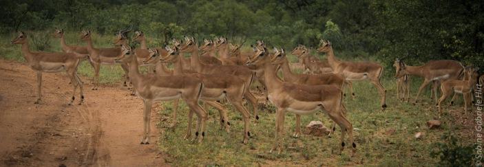 impala (5 of 18)