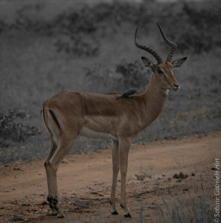 impala (6 of 18)