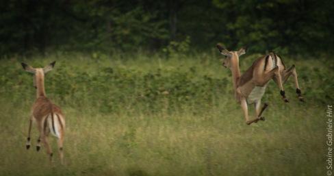 impala (7 of 18)