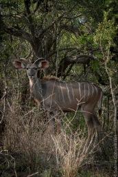 kudu (1 of 1)