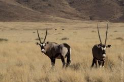 oryx (1 of 2)