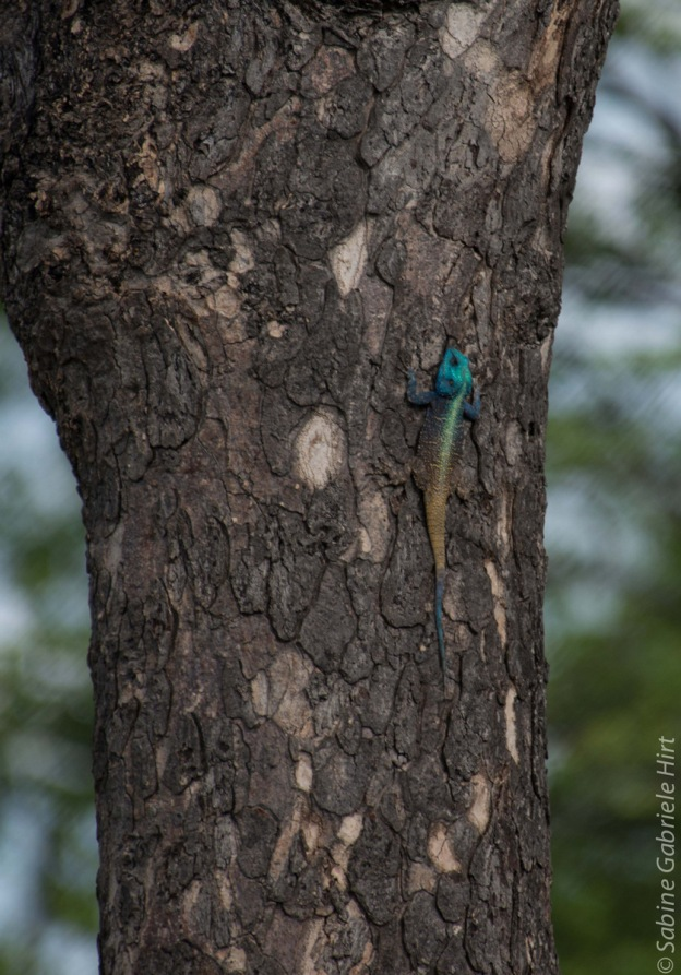 Red Head Agama (1 of 2)