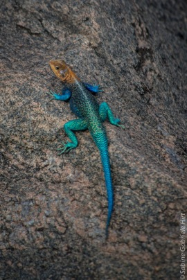 Red Head Agama (2 of 2)