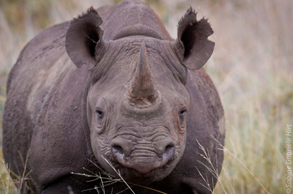 Black rhino (Phinda)