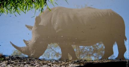 rhino (11 of 1)