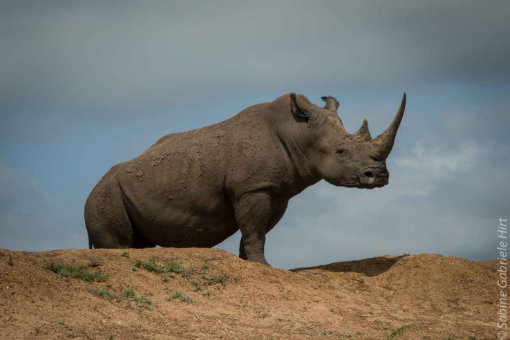 rhino (7 of 10)