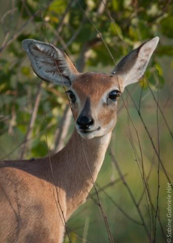 -> Antilopes!