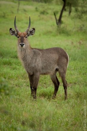 waterbuck (1 of 2)