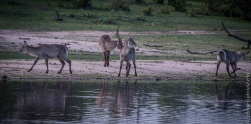 waterbuck (2 of 2)