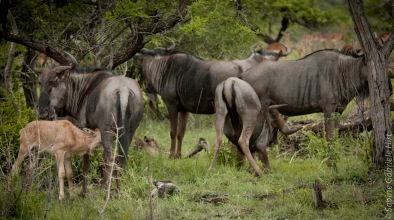 wildebeest (1 of 13)