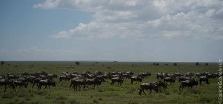 wildebeest (10 of 13)