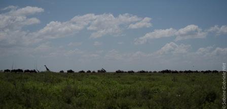 wildebeest (11 of 13)