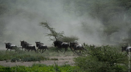 wildebeest (12 of 13)