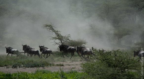 wildebeest (12 of 13)
