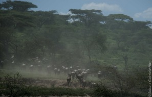 wildebeest (13 of 13)
