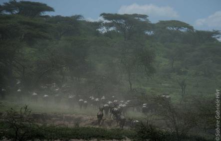 wildebeest (13 of 13)