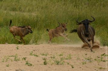 wildebeest (2 of 13)