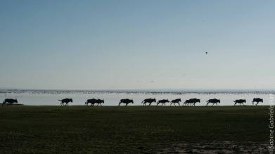 wildebeest (20 of 2)