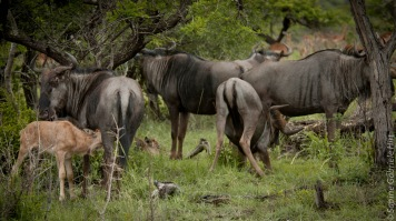 wildebeest (20 of 50)
