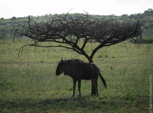 wildebeest (3 of 13)
