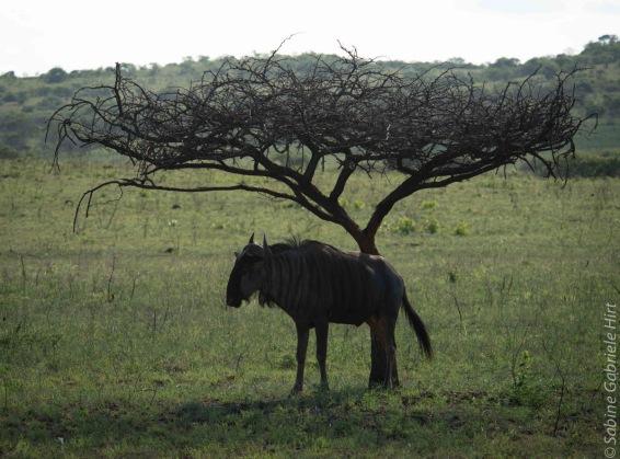 wildebeest (3 of 13)