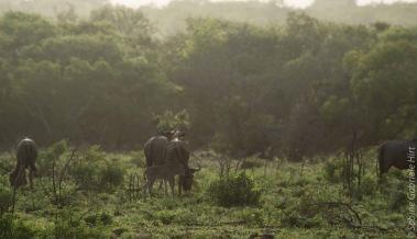 wildebeest (4 of 13)