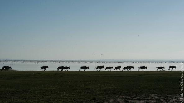 wildebeest (5 of 13)