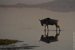wildebeest (6 of 13)