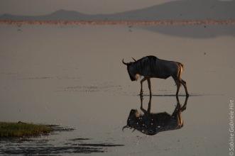 wildebeest (6 of 13)