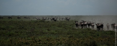 wildebeest (9 of 13)