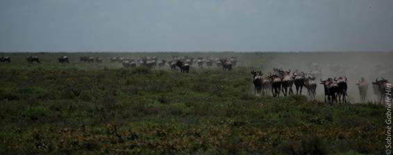 wildebeest (9 of 13)