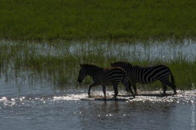 zebras (11 of 12)