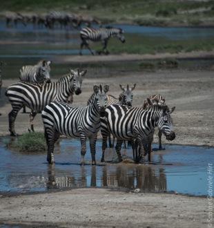 zebras (12 of 12)