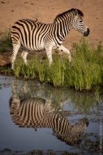 zebras (2 of 12)