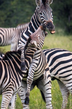 zebras (3 of 12)