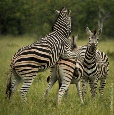zebras (4 of 12)