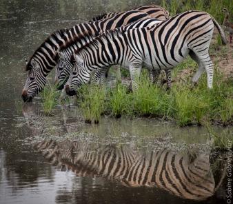 zebras (5 of 12)