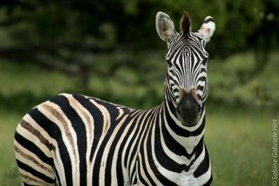 zebras (6 of 12)