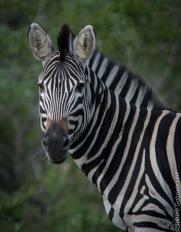 zebras (7 of 12)