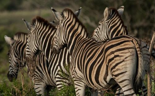 zebras (8 of 12)