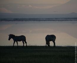 zebras (9 of 12)
