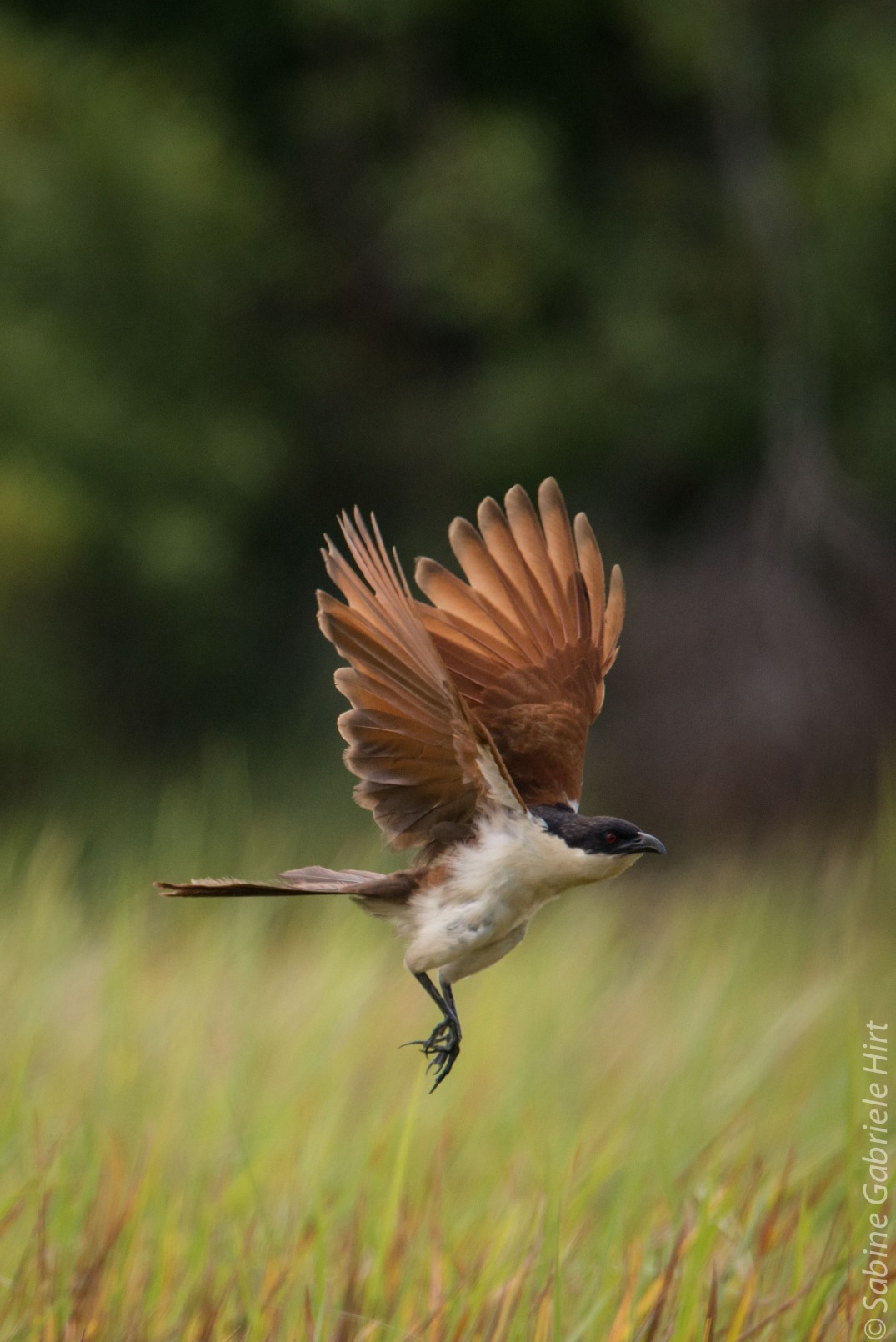 birds-in-flight-coppery-tailed-coucal