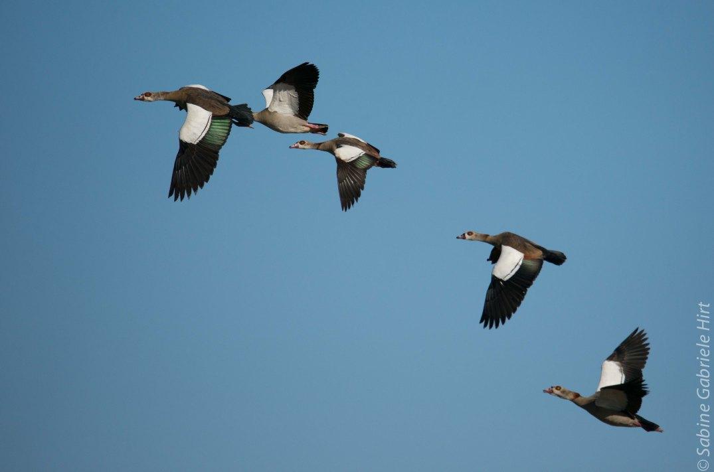 birds-in-flight-egyptian-geese