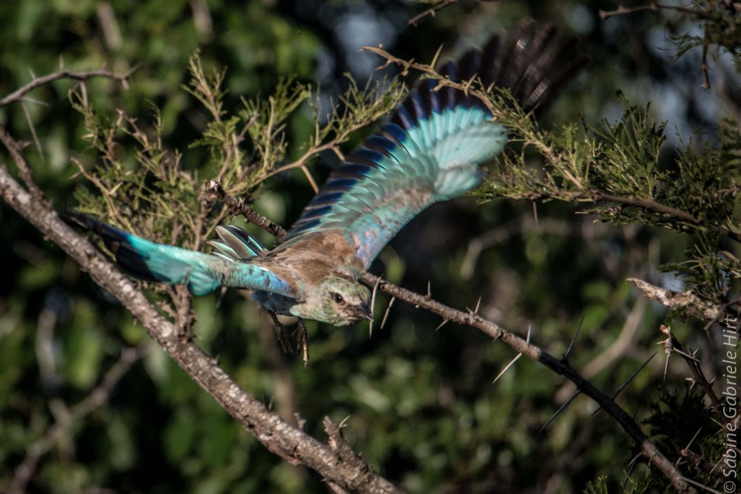 birds-in-flight-european-roller