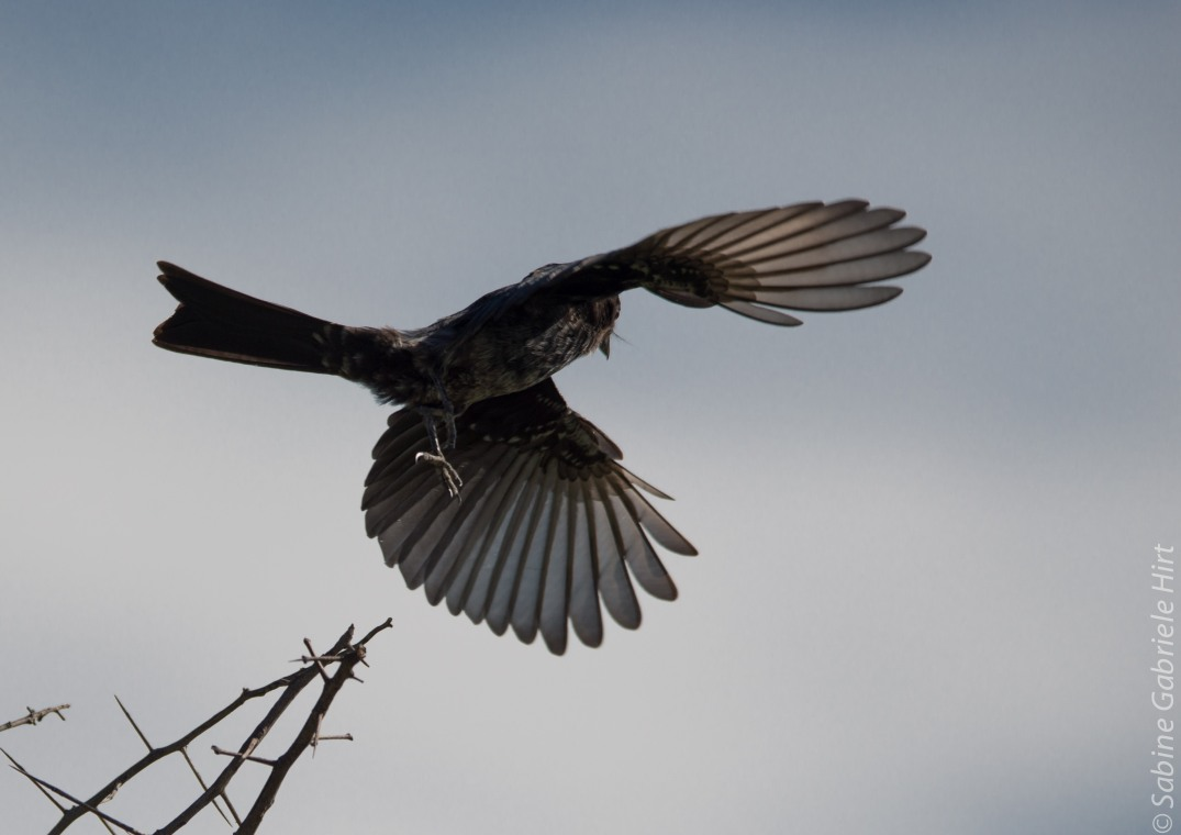 birds-in-flight-fork-tailed-drongo