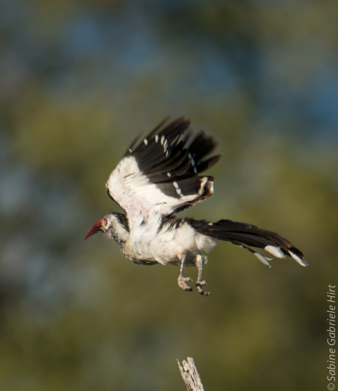 birds-in-flight-red-billed-hornbill