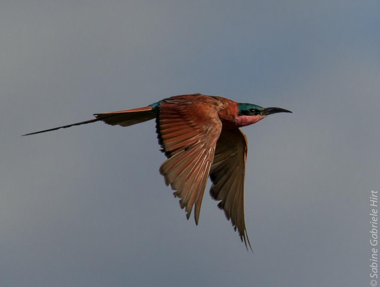 birds-in-flight-southern-carmine-bee-eater
