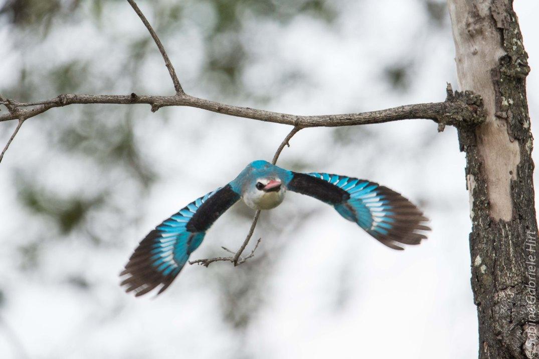 birds-in-flight-woodland-kingfisher